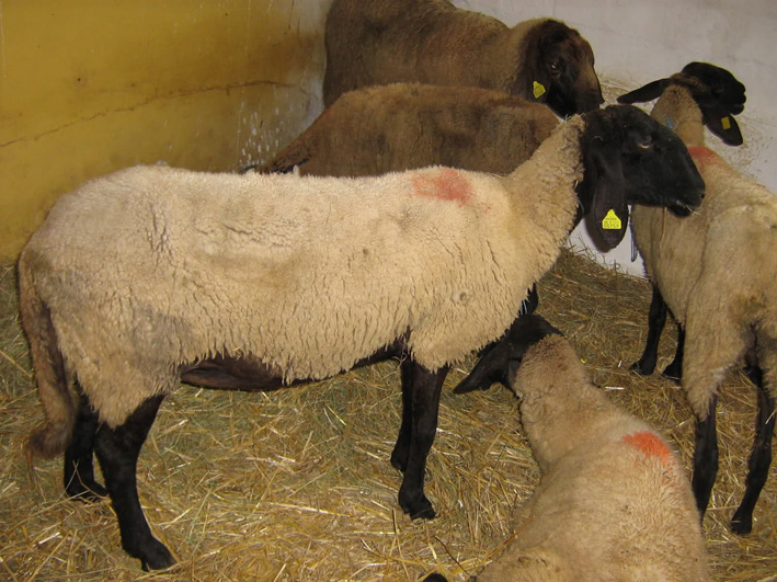 Center for preservation of indigenous breeds: Sheep and goat breeds